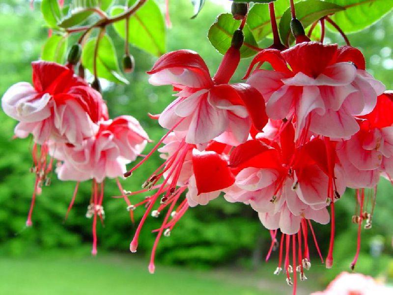 Цветы красные фуксия фото