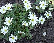 фото Анемона (Ветренница) нежная садовые декоративные цветы