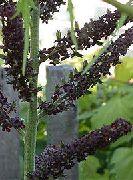 черные Чемерица цветы фото