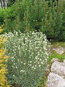 фото Антеннария (Кошачая лапка) садовые декоративные цветы