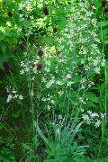 фото Зигаденус (Антиклея) садовые декоративные цветы