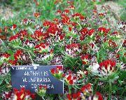 красные Анхуллис (Язвенник) цветы фото