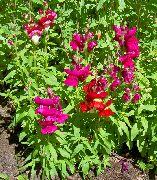 красные Антирринум (Львиный зев) цветы фото