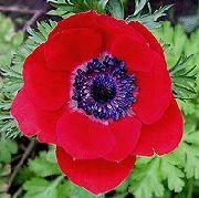 красные Анемона корончатая маковидная. цветы фото