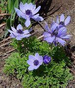 голубые Анемона корончатая маковидная. цветы фото