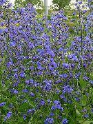 фото Анхуза итальянская садовые декоративные цветы