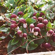 фото Аризарум (Мышиные хвостики) садовые декоративные цветы