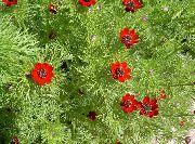 красные Адонис  цветы фото