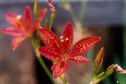 красные Беламканда цветы фото
