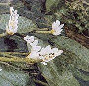 фото Апоногетон (Водный боярышник) садовые декоративные цветы