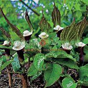 фото Аризема  садовые декоративные цветы