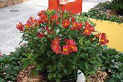 красные Альстремерия  цветы фото