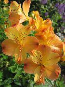 оранжевые Альстремерия  цветы фото