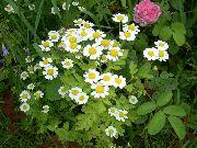 фото Пиретрум девичий (Танацетум, Матрикария, Хризантема девичья)  садовые декоративные цветы
