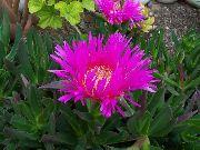 фото Мезембриантемум хрустальный (Хрустальная трава) садовые декоративные цветы