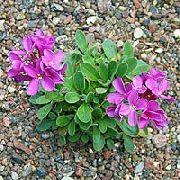 фото Арабис (Резуха) садовые декоративные цветы