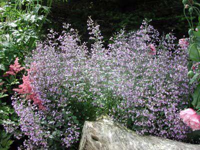 Многолетний цветок с фиолетовыми цветами фото