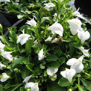 фото Мазус садовые декоративные цветы