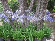 фото Агапантус африканский садовые декоративные цветы