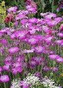 фото Агростемма (Куколь) садовые декоративные цветы