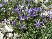 фото Азинеума  садовые декоративные цветы