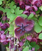 фото Акебия (Шоколадная лиана) садовые декоративные цветы