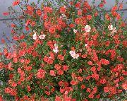 красные Алонсоа цветы фото