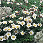 фото Анациклюс депрессум садовые декоративные цветы