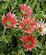 красные Арктотис (Венидиум) цветы фото