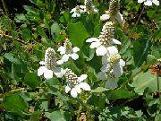 фото Анемопсис калифорнийский садовые декоративные цветы
