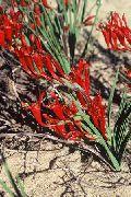 красные Бабиана цветы фото