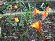 оранжевые Габрантус  цветы фото