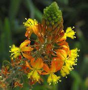 оранжевые Бульбина  цветы фото