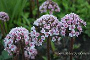 фото Пельтифиллум (Дармера, Пафосный лопух)   садовые декоративные цветы