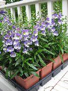 голубые Ангелония цветы фото