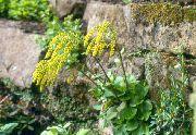 фото Xиастофиллум садовые декоративные цветы