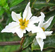 фото Левкокорина садовые декоративные цветы