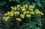 фото Арнебия благоуханная садовые декоративные цветы