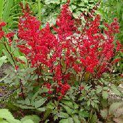 красные Астильба цветы фото