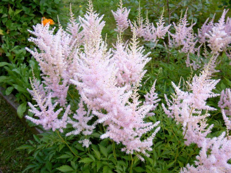 Выращивание из семян астильба 71