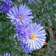 голубые Астра новобельгийская цветы фото