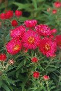красные Астра новоанглийская цветы фото