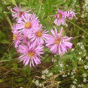 ... цветы b Астра /b новоанглийская розовые.