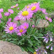 фото Астра альпийская садовые декоративные цветы