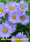голубые Астра альпийская цветы фото