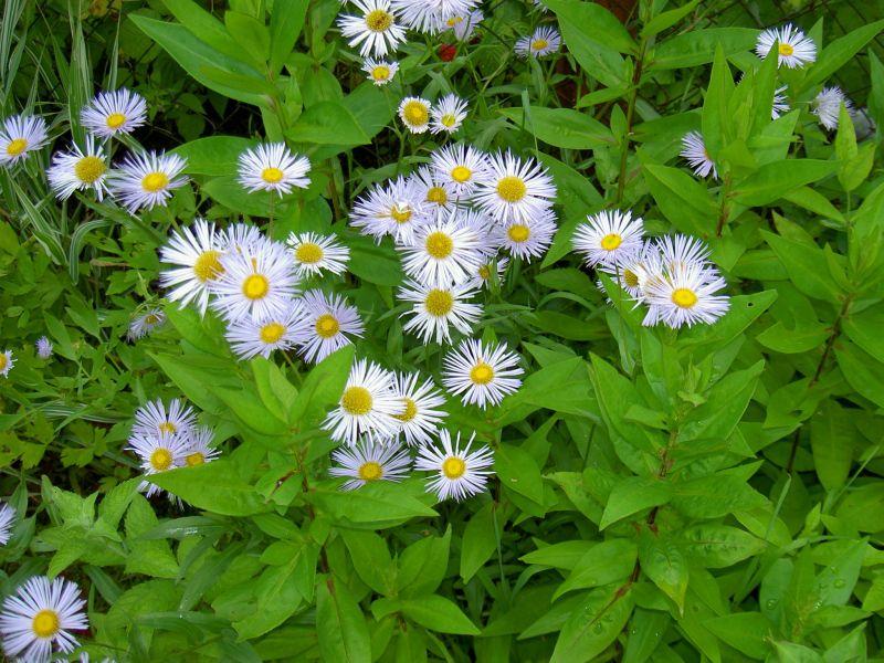 фото декоративные садовые цветы Ас…