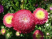красные Астра однолетняя (Каллистефус) цветы фото