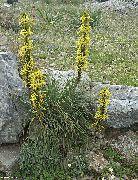 фото Асфоделина садовые декоративные цветы