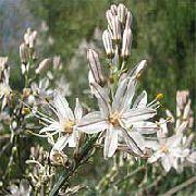 фото Асфоделюс садовые декоративные цветы