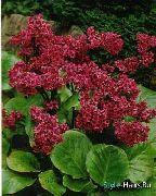 красные Бадан цветы фото